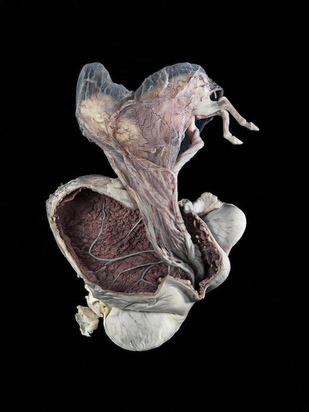 A0001337 Pregnant uterus, equine